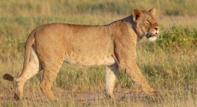etiyopya-kirsalinda-yeni-bir-aslan-grubu-bulundu.jpg
